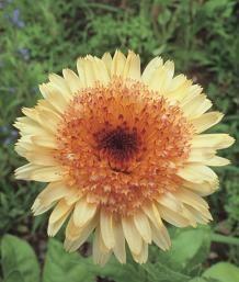 RP: Calendula - 'Kablouna Mixed' has buttery yellow blossoms with a dark eye.