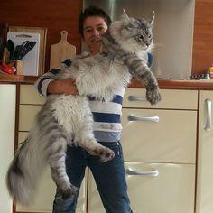 Dites bonjour au Maine coon, la plus grosse race de chats domestiques de la planète.