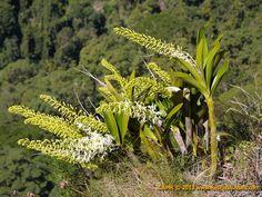Resultado de imagem para dendrobium speciosum habitat