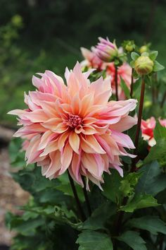 Read all about Top Performing Dahlias for Summer 2016 in Vermont. Labyrinth – My new favorite. I took a gamble on this variety because the photo on our website makes it look a bit drab. As you can see, Labyrinth is anything but drab. It's the color of a summer sunrise – peach, pale pink and gold.