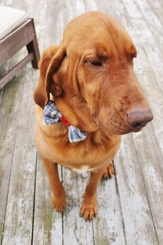 Dog Photo Prop Bow tie Do not leave on pet Pet by WiseSewcialTies, $14.00
