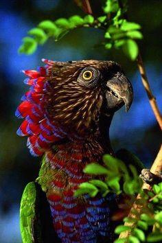 Веерный попугай из лесов Амазонии.  Оперение на затылке и задней части головы состоит из подвижных удлинённых перьев тёмно-карминового цвета. Эти перья попугай в раздражённом состоянии может поднимать точно воротник.