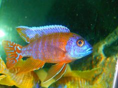 Dedicated thread for all your african cichlid pics