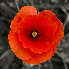 Poppy by Pete Biggs on flickr