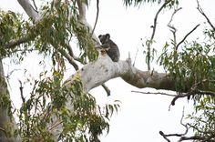Koala in a very large grey gum Whole Food Recipes, Easy Meals, Backyard, Grey, Animals, Ash, Animales, Yard, Gray