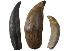 The fossil whale tooth (centre) compared to a T. rex tooth (left) and an extant Sperm Whale tooth (right).