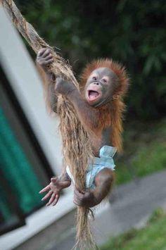 Swinging baby orangutan
