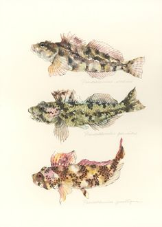 "Pseudoblennius cottoides / Sunrise sculpin / ""Asahianahaze"" (アサヒアナハゼ Pseudoblennius cottoides: uonofu 魚の譜から) #fish #art #illustration #painting #drawing #fishart #fishillustration #fishpainting #fishdrawing #naturalart #naturalillustration #naturalpainting #naturaldrawing #watercolor #aquarium #fishing #uonofu #YuseiNaagashima"