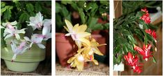 Growing with plants: FEELING CHRISTMAS CACTUSY