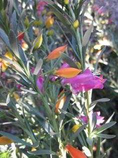 Easter egg Emu bush Eremophila racemosa • Australian Native Plants Nursery • Plants • 800.701.6517