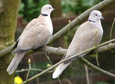 Ring-necked Turtle Doves - we almost always see them in pairs.