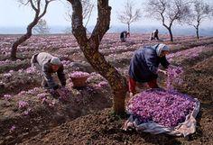 Saffron Harvest, Srinagar, Kashmir
