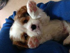 Cavalier King Charles Spaniels Cavalier King Spaniel, Cavalier King Charles Dog, Spaniel Dog, King Charles Spaniel, Cute Puppies, Morkie Puppies, Baby Animals, Cute Animals, Animal Noses