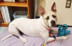 Okulun İlk Günü Konseptiyle Hazırlanmış 26 Komik Köpek Fotoğrafı Pitbulls, Dogs, Animals, Animais, Animales, Animaux, Pet Dogs, Pit Bull Dogs, Doggies
