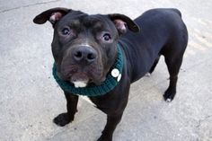 MARS - A1101376 - - Manhattan  TO BE DESTROYED 01/22/17  A volunteer writes: Hubba, hubba, hunka, hunka! Mars is a seriously stunning big blockhead, low-to-the-ground boy. Quiet in his kennel awaiting his turn for a walk, he pottied the moment we were outside, and off we go to the park. Mars gives delicious stand up hugs, is alert, curious, friendly and stunning — yes — it needs repeating! His coat shines in the sun, his eyes are bright and mischievous, and he a