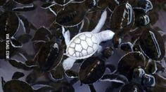 Gorgeous albino sea turtle among normal sea turtle buddies