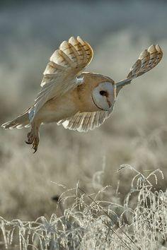 Barn Owl in flight of Prey Beautiful Owl, Animals Beautiful, Cute Animals, Pretty Birds, Love Birds, Owl Pictures, Owl Bird, Tier Fotos, Birds Of Prey