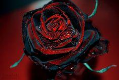 Black Rose mr csak a természet Halfeti Trkorszg  Buzzcsrda