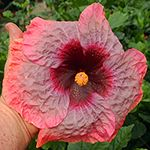 """[Hibiscus """"Crinkle in Time."""" Isn't this a great name? Love it. It's a prolific bloomer, too, with 7-9"""" flowers. I think we might need one some day!]  Tropical Hibiscus 'Crinkle in Time'"""