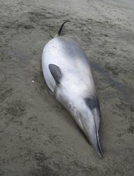 Two spade-toothed beaked whales, a mother and calf, stranded and died on Opape Beach on the North Island of New Zealand.