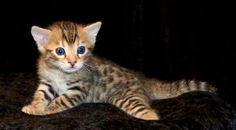Serengeti kitten.