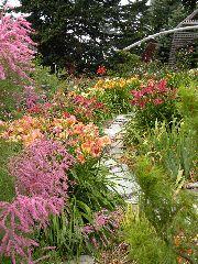 Daylilies in my garden framed by tamarix.