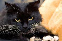 Cómo tratar el asma en los gatos #gato #cat #mascota #animales
