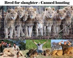 Lions - Canned hunting bred for slaughter