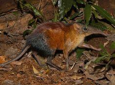 Grey-faced Sengi (Rhynchocyon udzungwensis)
