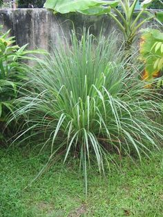 Lemongrass: Repels fleas, ticks  mosquitoes! Plant in pots and place on your porch or patio.