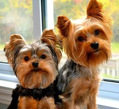 Your Yorkie Potty training questions answered! Yorkie Potty Training Q and A Source by yorkiesplash The post Yorkie Potty Training Q and A appeared first on Murtaza Mutts. Yorkies, Yorkie Puppy, Teacup Yorkie, Yorky Terrier, Yorshire Terrier, Bull Terriers, Cute Puppies, Cute Dogs, Dogs And Puppies