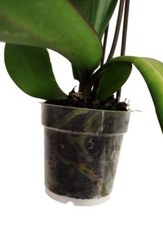 Orchid roots perform two functions that are critical for the growth of the plant: holding the plants in place and providing them with nutrients.