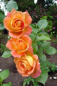 Hybrid Tea Rose 'Alpine Sunset'