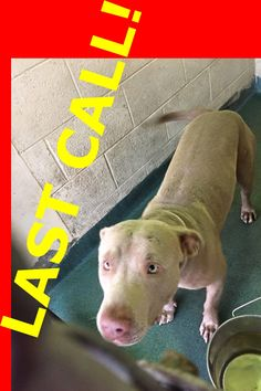 A very sweet pitbull mix boy-friendly, attention seeking, constant tail wagger. He is OX , 2 yo #A1665381 in the west wing at MDAS. About 80 lb — hier: Miami Dade County Animal Services. https://www.facebook.com/urgentdogsofmiami/photos/pb.191859757515102.-2207520000.1420744124./906842569350147/?type=3&theater