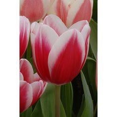 Tulip Single Late Anne Marie