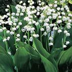"""Lily-of-the-Valley Spreads quickly.          Tiny, sweet-smelling, bell-shaped flowers cover this old-fashioned favorite every spring. Space 6-12"""" apart.  Product Information: Light: Full to partial shade Height: 6-10"""" Deer Resistant Bloom Time: Mid to late spring Size: Bareroot Zones: 2 to 8"""