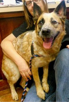 03/30/15-Precious Australian Cattle Dog (Blue Heeler) Mix & German Shepherd Dog • Young • Female • Medium Amarillo SPCA Amarillo, TX