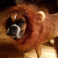 It's #TBT! Bella was the opposite of cowardly as a fierce lion for last year's Howl-O-Ween contest. This year she'll be strutting her stuff in a fresh costume at our Ghouls Gimlets & Grrrowlers event on October 26th. It's a FREE event and will feature drinks & snacks treats for dogs as well as games and prizes. See you there!