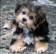 Yorkie and Shih Tzu mix is a Shorkie, so cute!