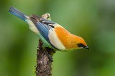 Foto saíra-preciosa (Tangara preciosa) por Ricardo Gentil | Wiki Aves - A Enciclopédia das Aves do Brasil