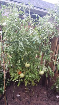 When you have a ton of green tomatoes that won't turn red it's time try pruning! Prune the flowers and all extra branches around the base so all the energy is then focused on the fruit! :)