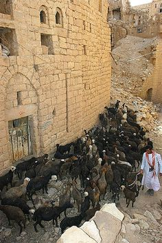 Sheperd and his sheep in the street of a town in ruins - Yemen | Flickr - Photo Sharing!