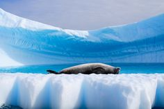 A seal basking in the Antarctic summer sun