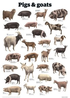 Pigs and goats by Guardian Wallchart Farm Animals, Animals And Pets, Cute Animals, Sheep Breeds, Pig Breeds, Goat Art, Pig Farming, Animal Science, Animal Species