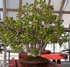Indoor Bonsai: Choose Wisely for Success on http://www.hortmag.com