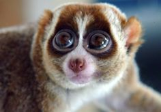 Slow loris - these beautiful and gentle endangered animals are being captured and sold as pets on the blackmarket in Indonesia.