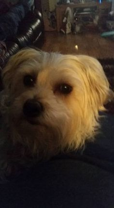 ~ Daily Dose of Cuteness ~  My gorgeous Daisy (Shared by Alison Loughran Farrell) #DogoftheDay http://aboutmorkies.com/ Follow us: Facebook.com/YorkiesMorkiesMaltese Twitter.com/morkienation #dog #doglovers #animals #pets #yorkies #yorkie #yorkielovers #petlovers #dogowners #puppy #adorablepets #sillydogs #smallanimals #instadogs #instayorkie #instapuppy #instaanimals #petsofinstagram #dogsofinstagram #yorkieofinstagram #puppylove #animallovers #ilovemypet #ilovemyyorkie #igdogs #igpets