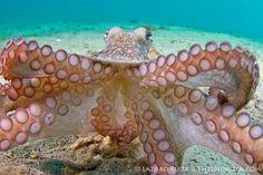 Octopus attacks camera by TheLivingSea.com, via Flickr