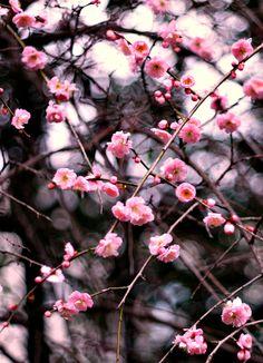 prum blossom 梅