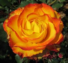 Tequila Sunrise Rose | Tequila Sunrise
